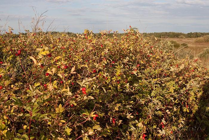 Заросли шиповника с красными спелыми плодами в период осени