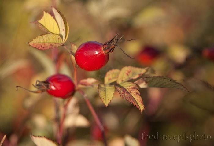 Куст шиповника со спелыми красными плодами крупным планом