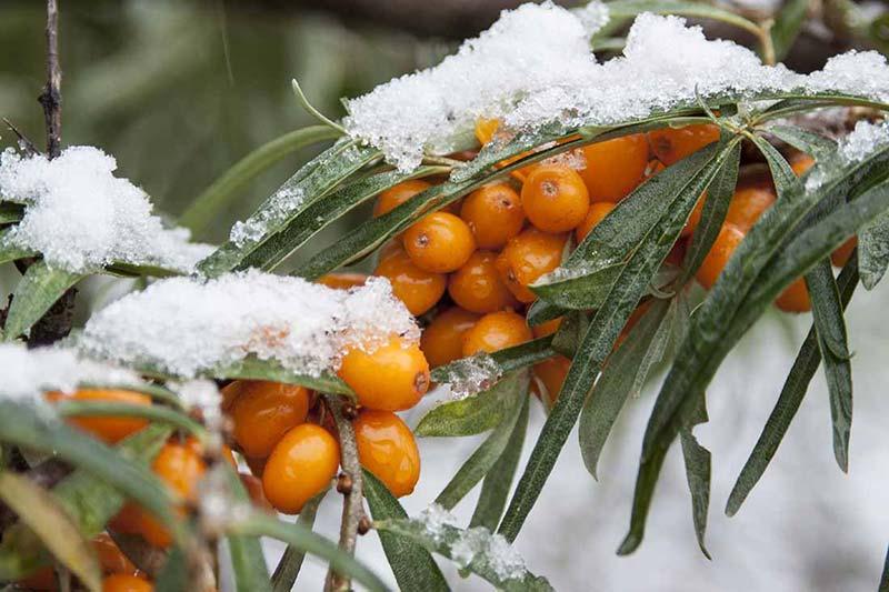 Облепиха спелая под снегом на ветке
